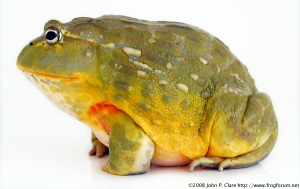Giant-African-Bullfrog-Male