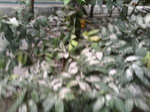 Abu Tebal Menutupi Dedaunan