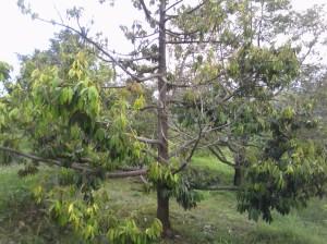 Pohon durian dengan buahnya yang masih muda.