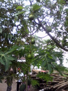 Pohon alpukat sedang berbuah lebat.